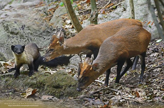 Muntjac or Barking Deer & Yellow-throated Martin