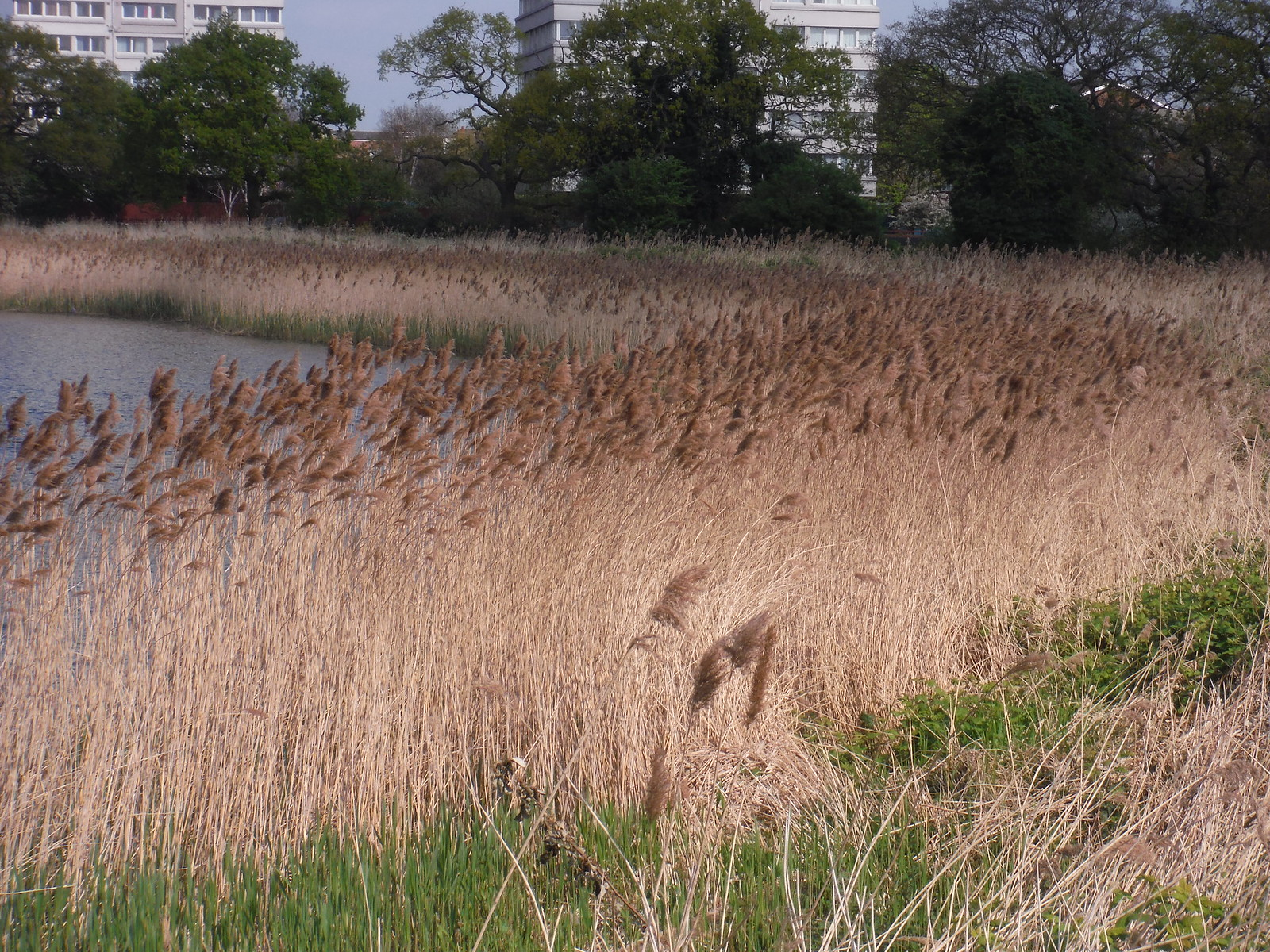 Reed Beds, Woodberry Wetlands SWC Short Walk 26 - Woodberry Wetlands (Stoke Newington Reservoirs)