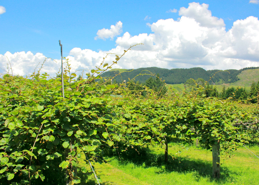 agrodome-farm-kiwi-plantation