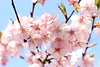 Photo:Kawazu zakura sakura cherry blossom Japan 河津桜  桜 サクラ 日本 (5) By zaimoku_woodpile