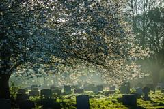 Blossom over the Gravestones