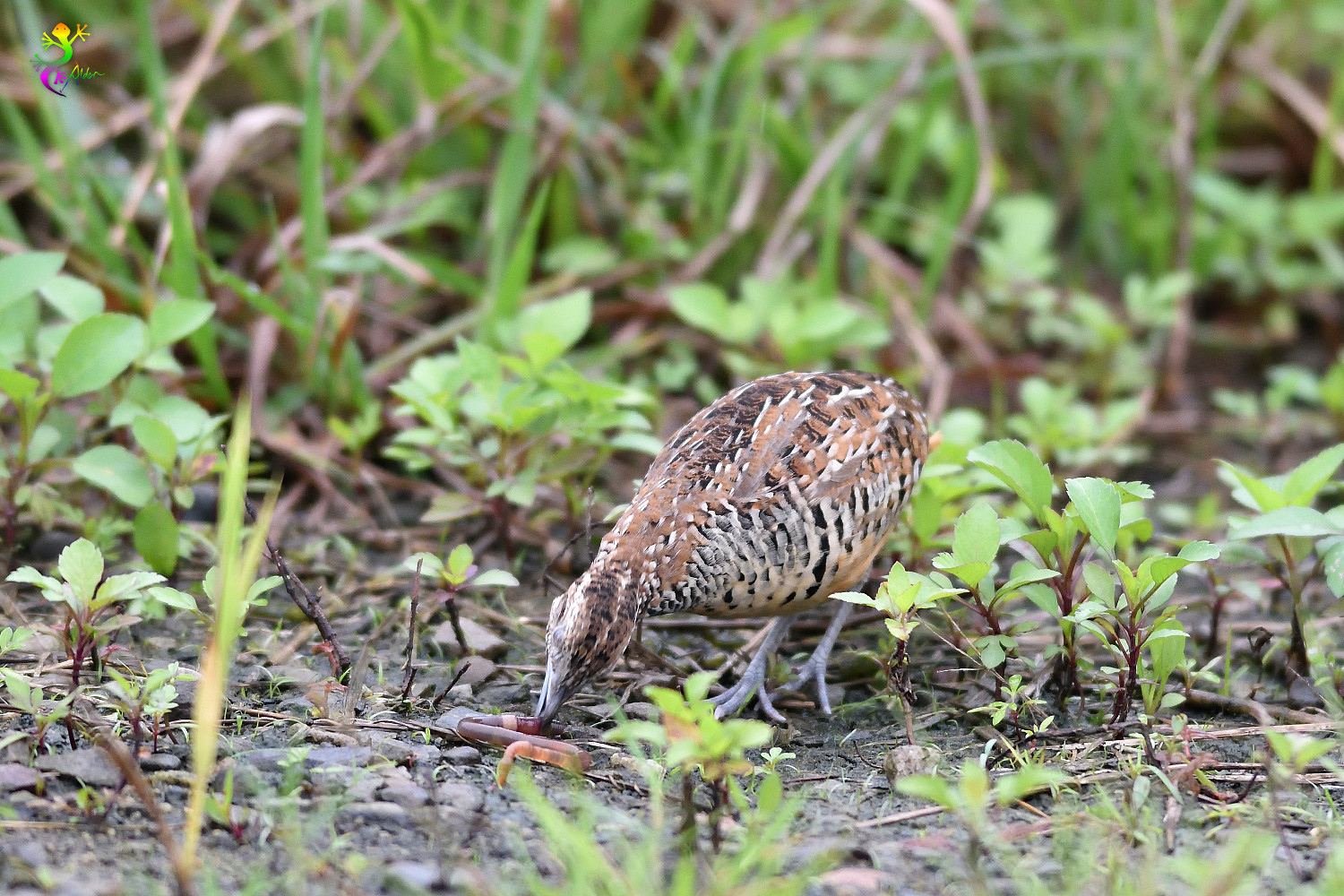 Barred_Buttonquail_9167