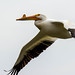 American White Pelican by ChrisOlson333