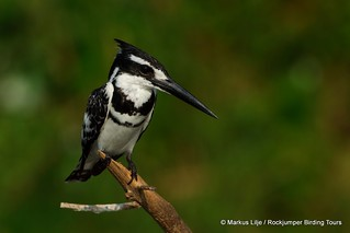 Pied Kingfisher QENP