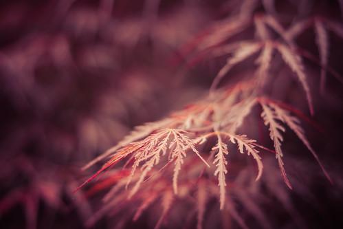 emeralddr landscaping yard japanesemaple lakespivey soft bokeh red maple lace