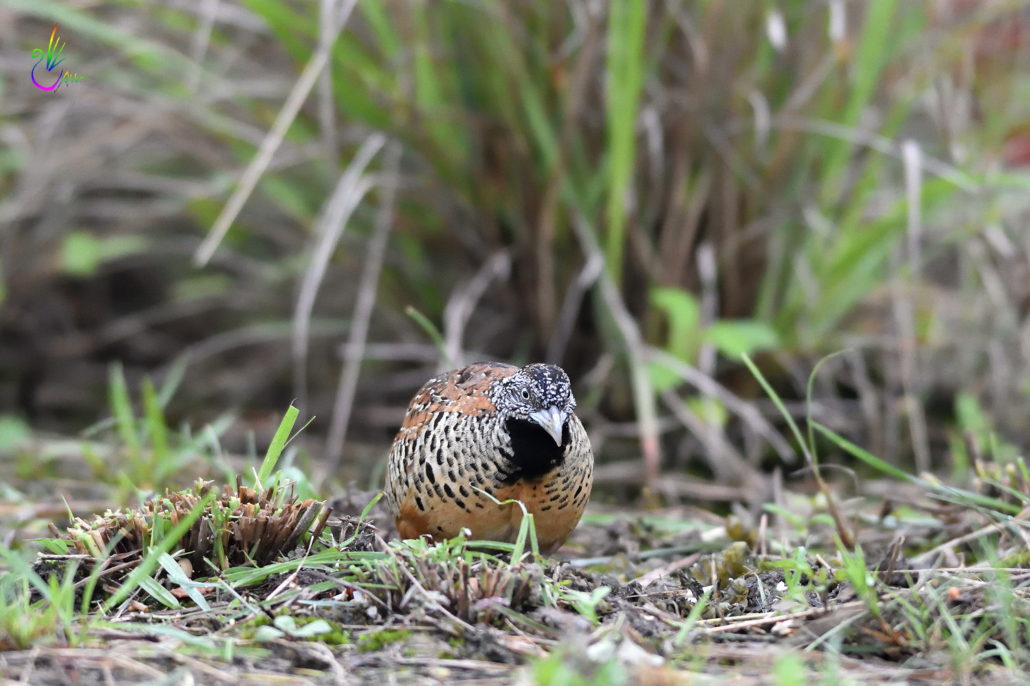 Barred_Buttonquail_2114