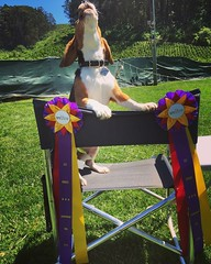 HURRAY!!! Dylan got his last ever World Cynosport Rally Level 3 Q to earn his RL3X2!! That is 20 Level 3B Qs! That was his rally retirement run... Unless we come back for Veterans! Good Little Beagle! :heart_eyes::heart:️:tada:
