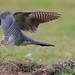 It's a cuckoo, cuckoo, cuckoo, cuckoo.... by redmanian