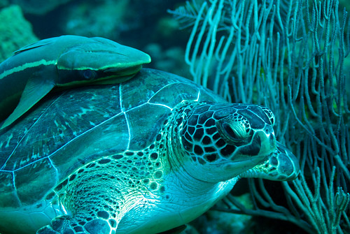 turtle & remora close up