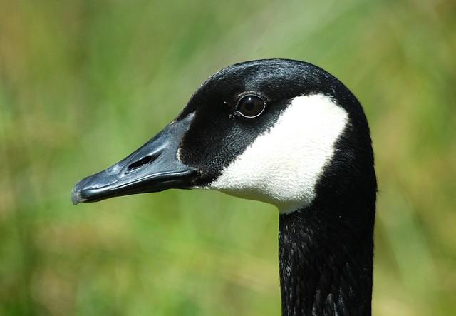 Canada Goose Head Image