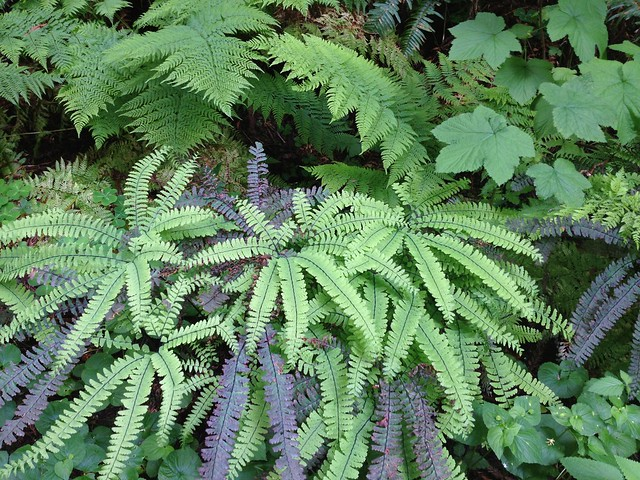Aleutian maidenhair ferns