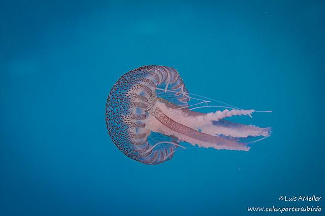 Jellyfish Menorca