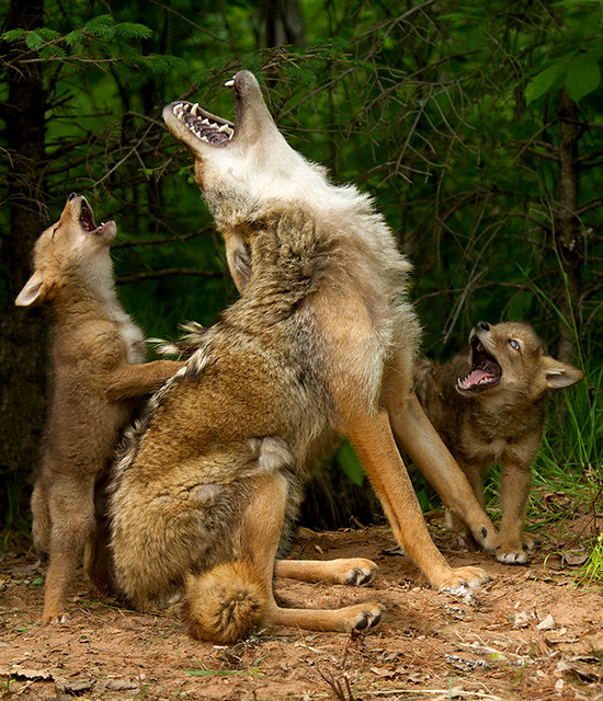 Howling lesson