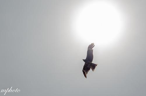 江之島 老鷹