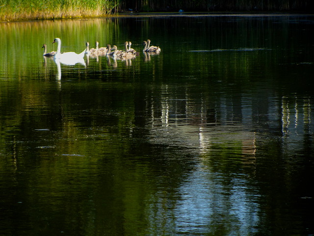 Momma Swan has nine (!) cygnets