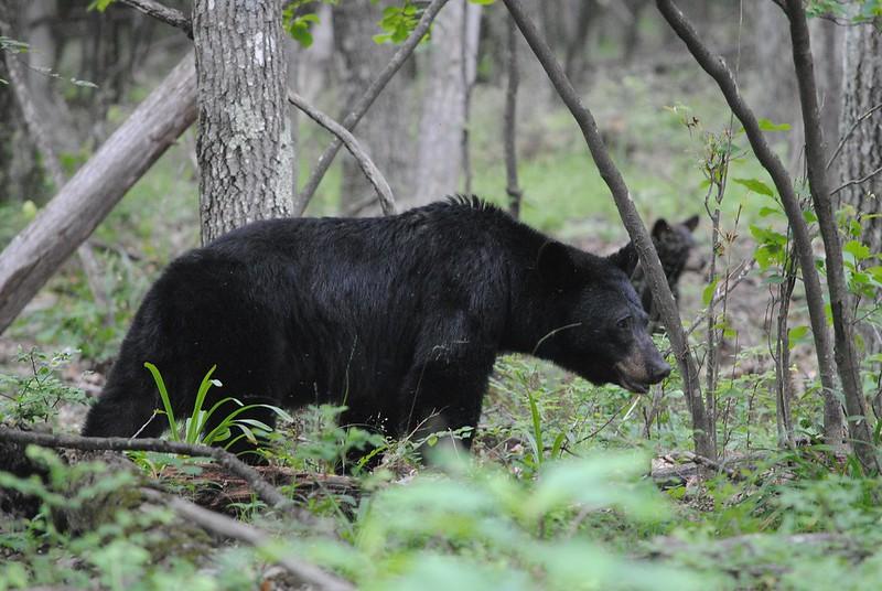 Black bear (Барибал)
