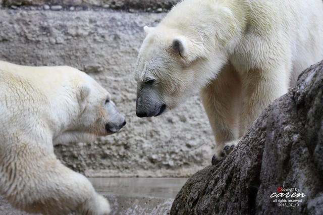 Eisbären Giovanna&Yoghi 2013_07_10 207