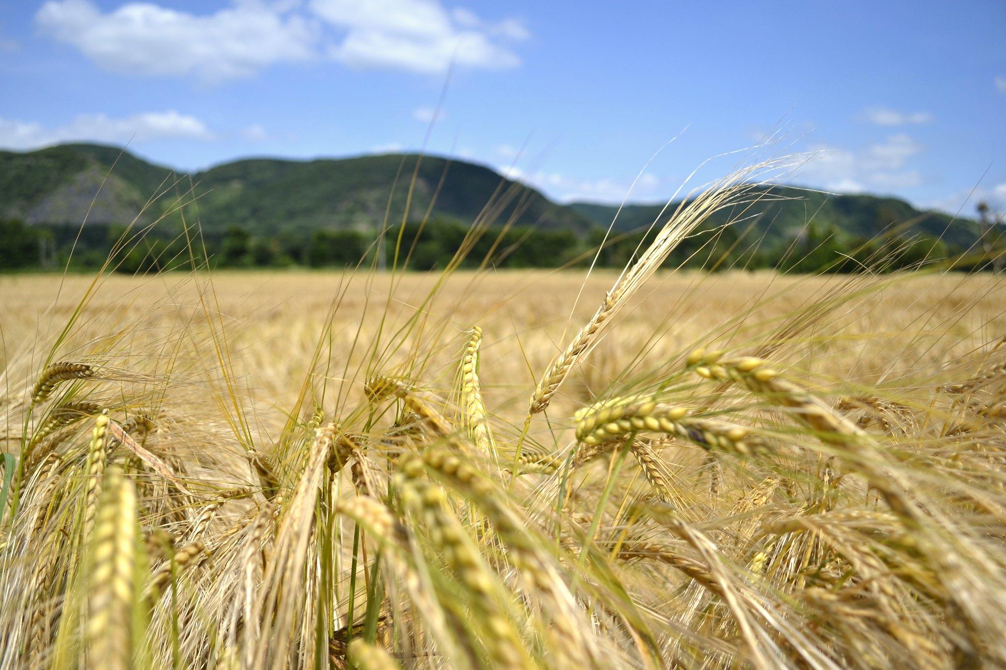 So fängt es an mit dem Brot. (Bildbeschreibung: Nahaufnahme von goldgelben, reifen Getreideähren vor einem Getreidefeld. Dahinter erscheinen unscharf die Berge nördlich von Leutesdorf am Mittelrhein.)