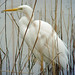 Great White Egret (Tom Mabbett)