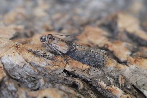 Sciota adelphella