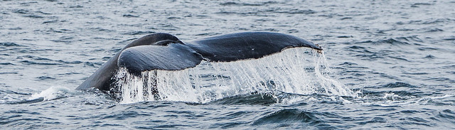 Humpback Whales feeding, diving, surrounded by birds and sea lions, just off Morro Rock.
