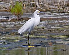 Snowy Egret (SNEG) 7625