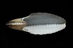圖08-2、扁船蛸的體殼扁、放射肋多(可達50條),體型較大,顏色為乳白色。(圖片拍攝:李坤瑄)
