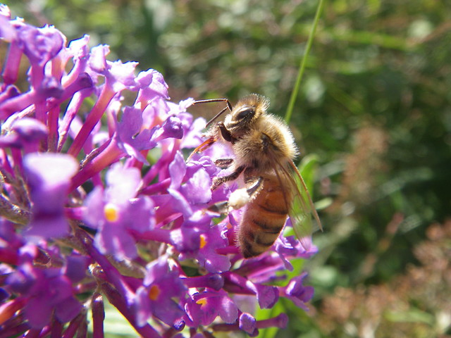 butterfly bush and a bee
