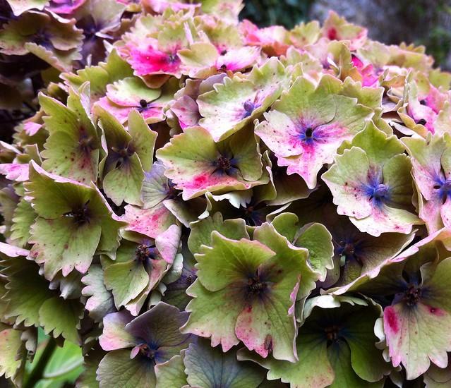 Autumn hydrangeas