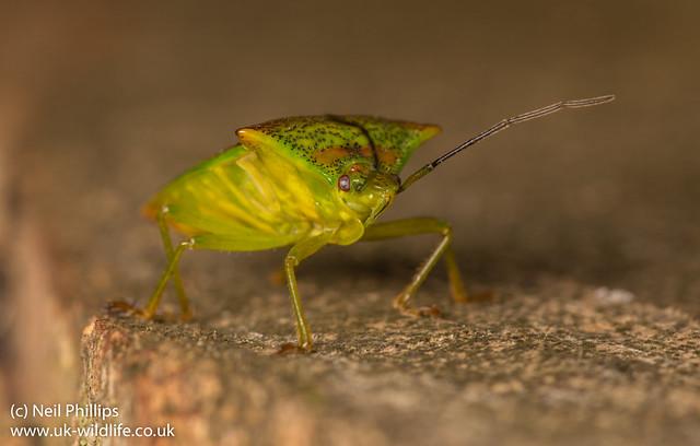 hawthorn shield bug Acanthosoma haemorrhoidale-9