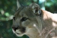 Raubkatzen Safari II