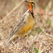 Cape Longclaw or Orange-throated Longclaw, Macronyx capensis at Rietvlei Nature Reserve, South Africa
