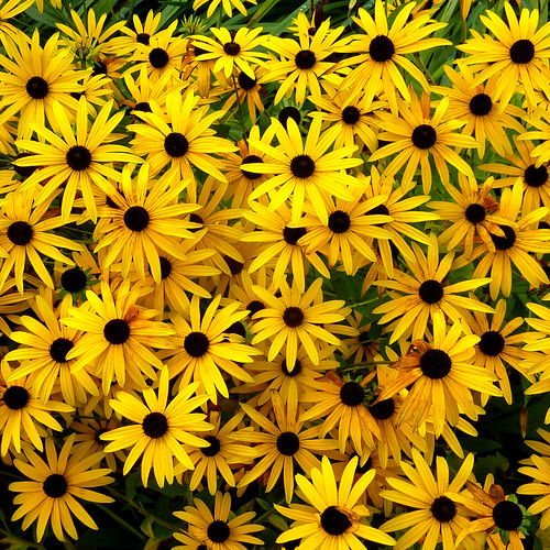 rudbeckia by pho-Tony