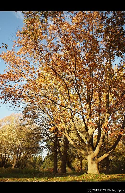 Chinquapin Oak (Quercus muehlenbergii)