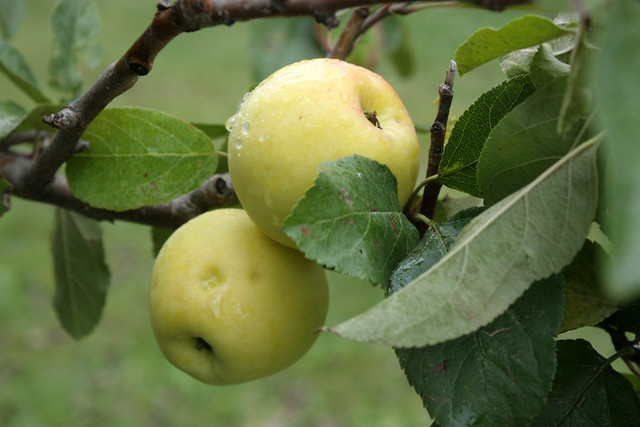 a pair of yellow apples