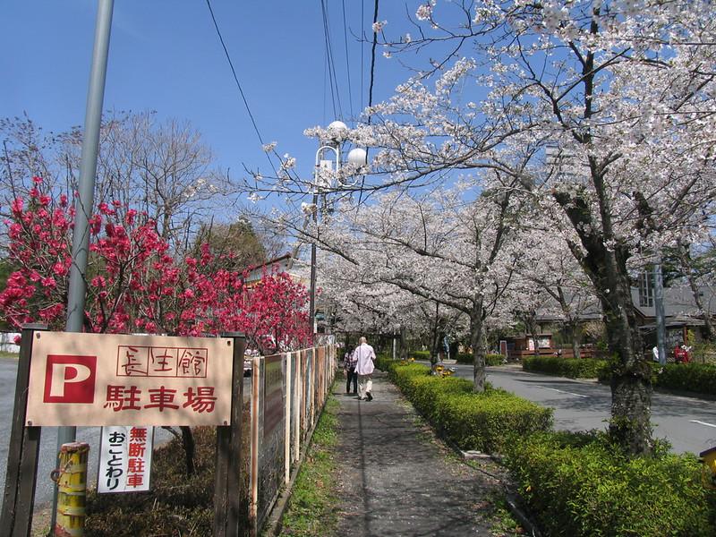 しだれ桃と桜
