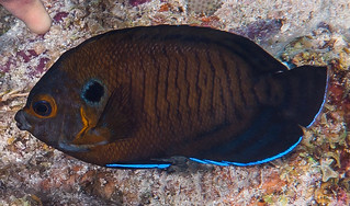 Brown Pygmy Angelfish - Centropyge multispinis