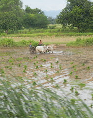 Planting rice seen from Mandalay to Thazi train