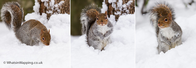 The Wapping Squirrel in the snow