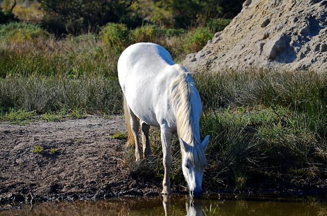 White horse, Saintes Maries de la Mer, Camargue, France
