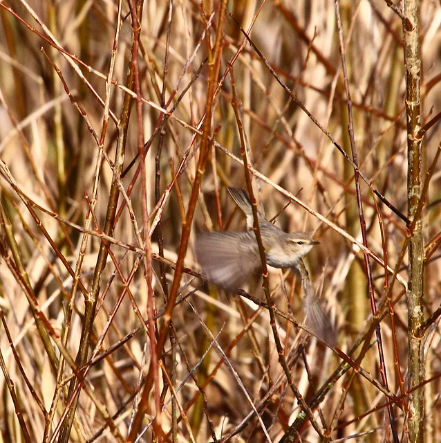 flying chiff-chaff