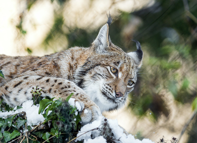 Lynx on the top of the bush