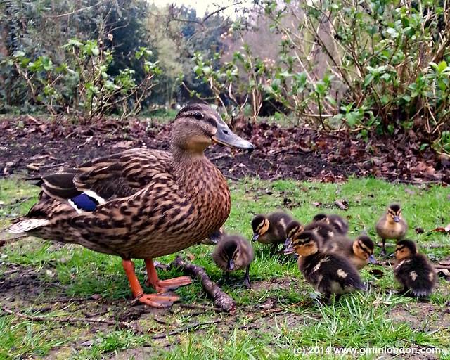 Ducklings at Leeds Castle