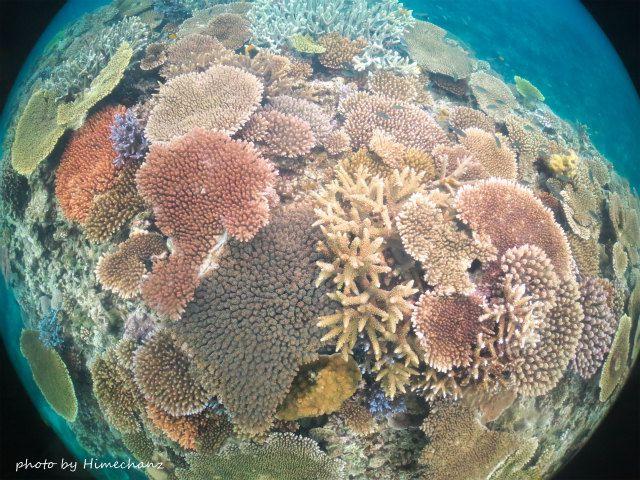 だ~っと広がる名蔵湾の極上サンゴ♪