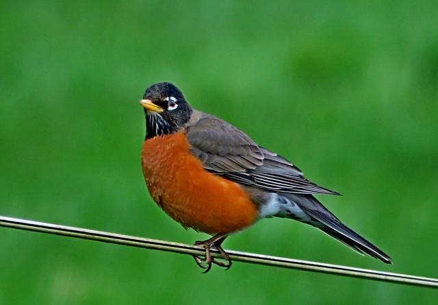 American Robin, Snoqualmie Valley, WA 3/24/17