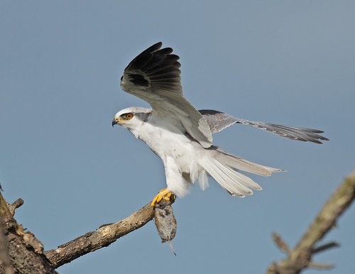 White-tailed kite with dinner