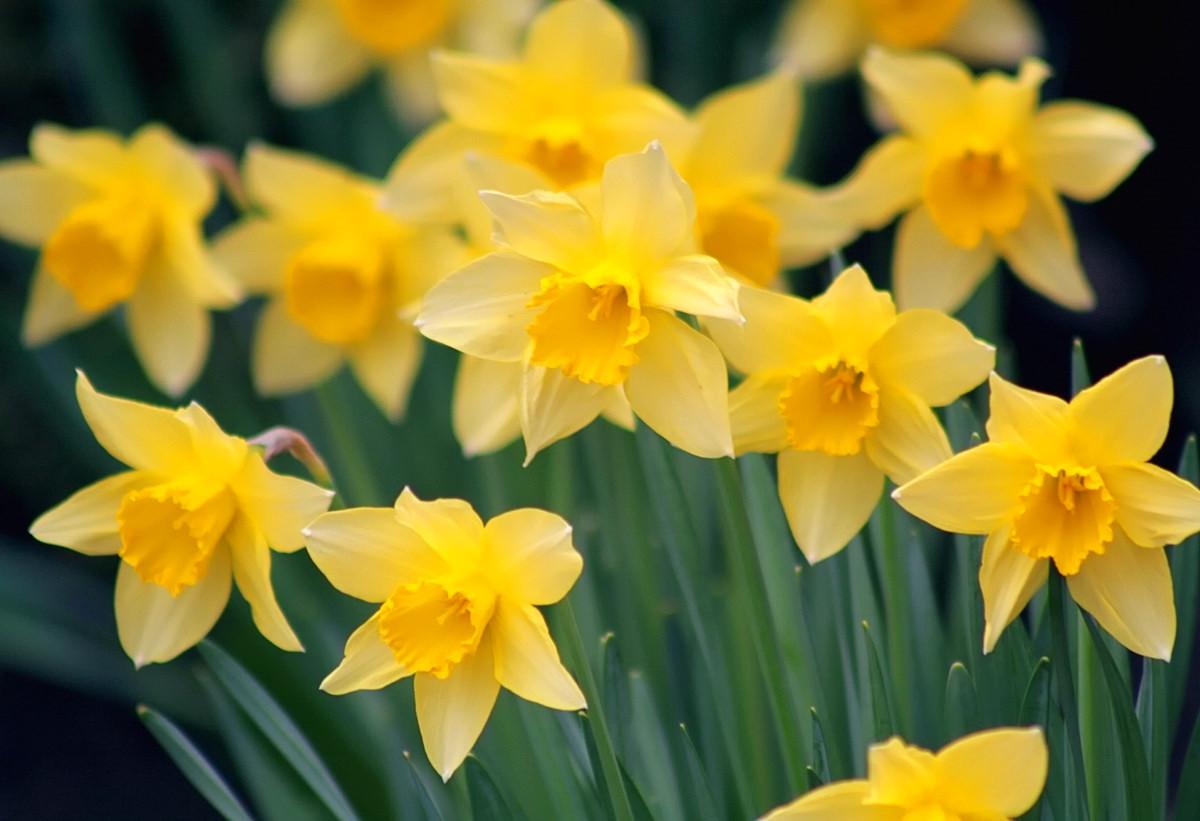 Daffodils. Credit John Haslam, flickr