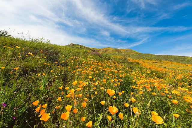 Walker Canyon California Poppy Field