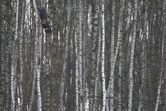 Eagle on birch background