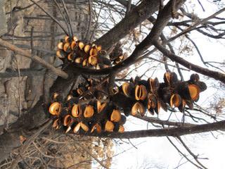 Burnt Banksia